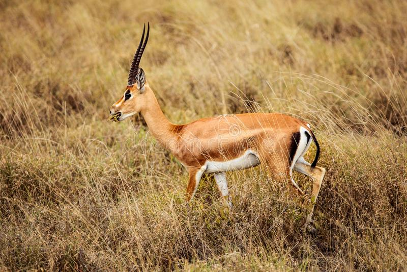 格兰特` s瞪羚Nanger granti侧视图 Tsavo东部国家公园,肯尼亚 免版税库存图片