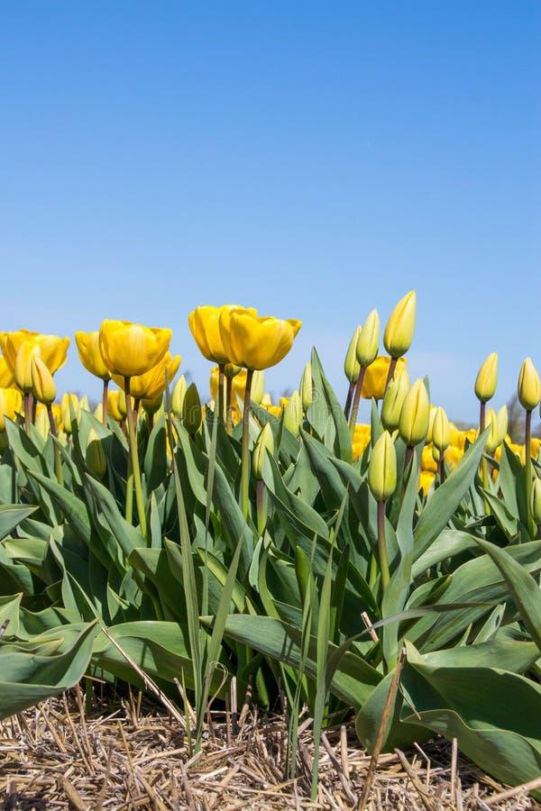 格勒开放dichte的en在het草原tulpen 图库摄影