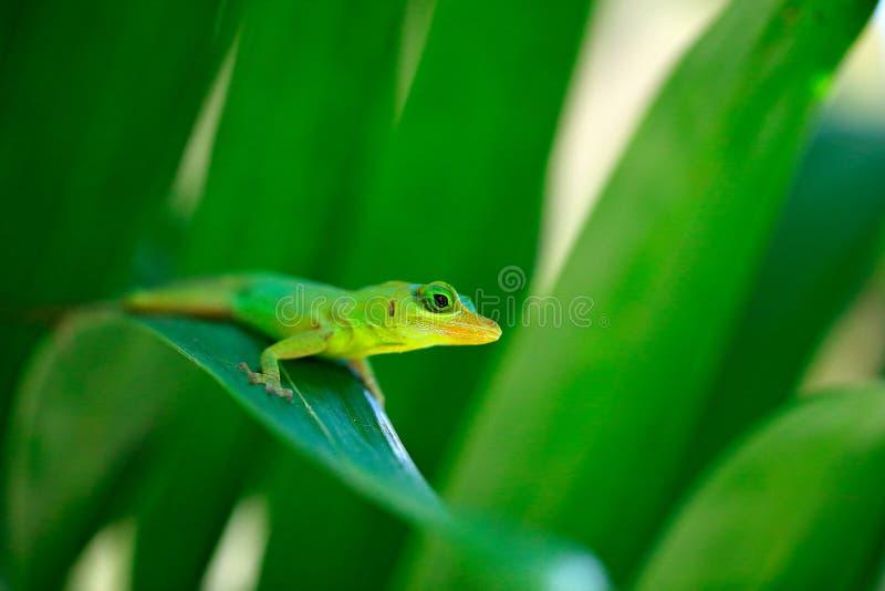 格林纳达理查的树anole,Anolis richardii,在自然栖所 罕见的蜥蜴美丽的画象从特立尼达和多巴哥的 库存照片