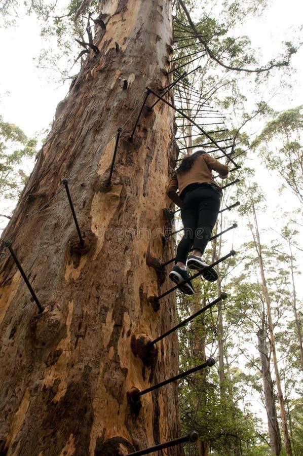格洛斯特树攀登 免版税库存图片