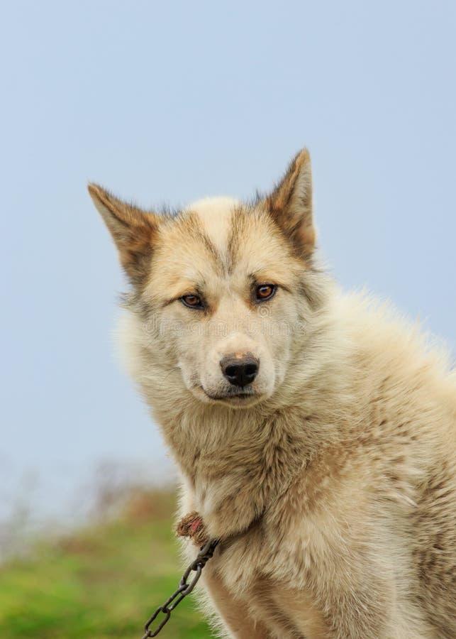 格陵兰拉雪橇狗 库存图片