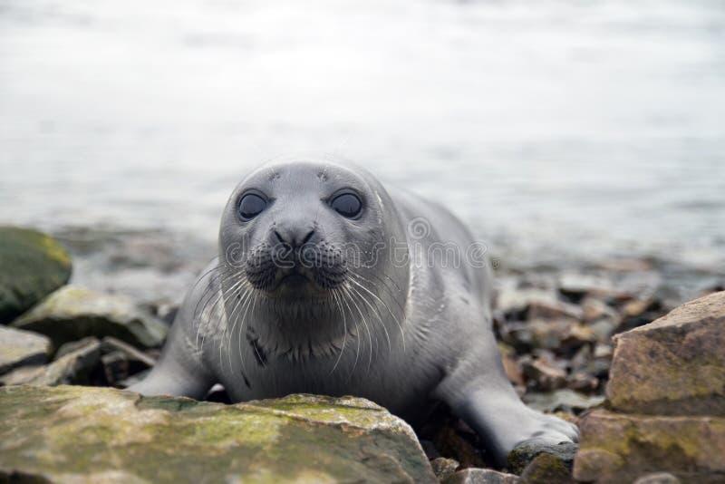 格陵兰海豹 免版税库存图片