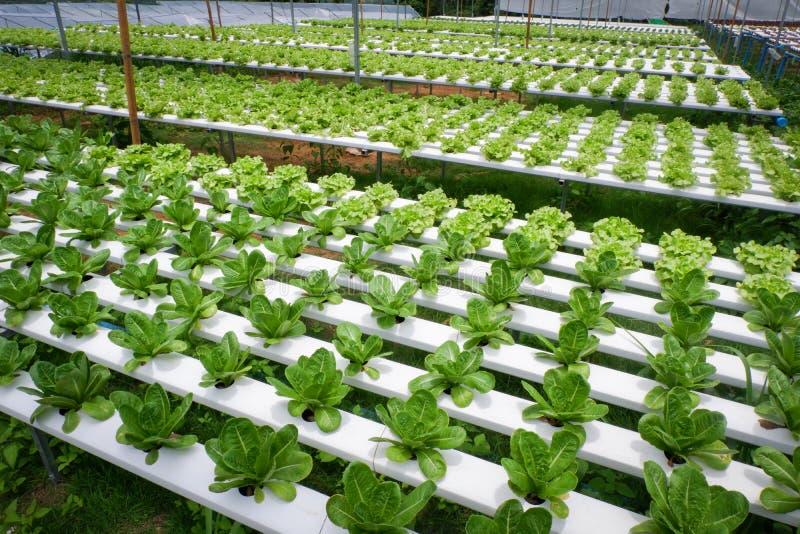 水栽法莴苣 免版税库存图片