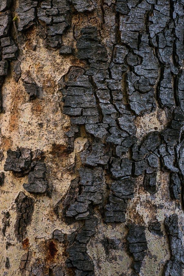 桂皮树 库存图片