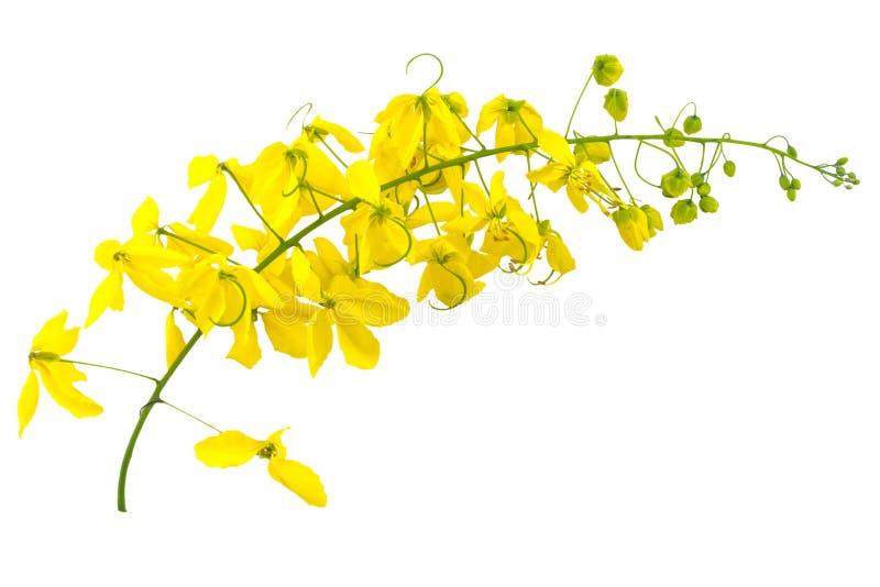 桂皮瘘或金黄阵雨花在白色 库存图片