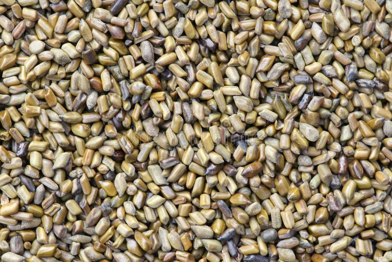 桂皮种子 免版税图库摄影