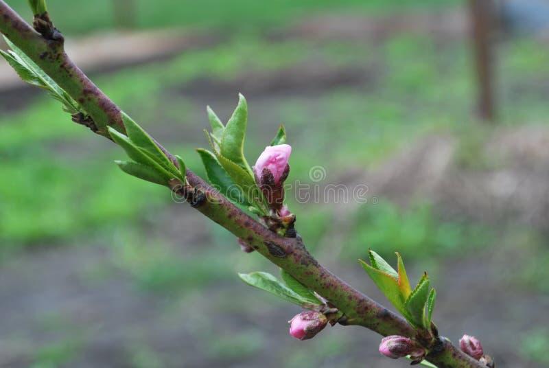 年轻桃子在春天,开始开花的花发芽 库存照片