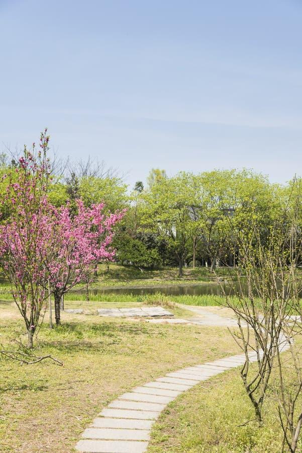 桃子开花和石板道路 图库摄影