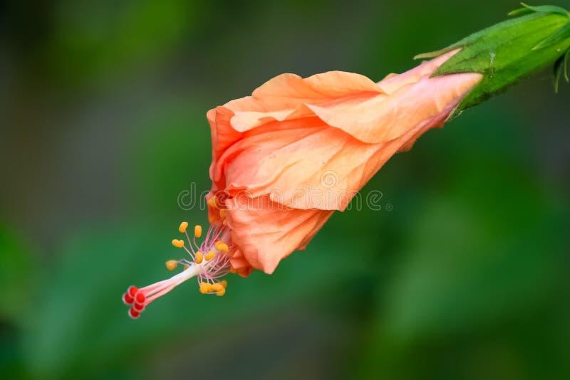 桃子木槿发芽与非常突出的雄芯花蕊  免版税库存照片