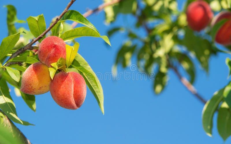 桃子果子成熟在桃树分支 图库摄影