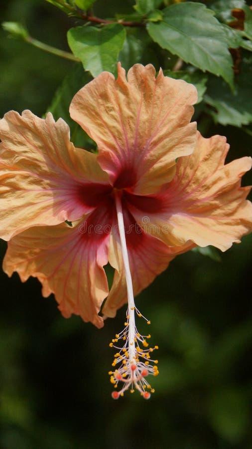 桃子橙色木槿花在吉隆坡庭院里  免版税图库摄影
