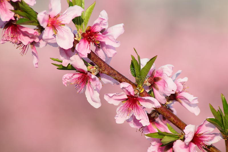 Download 桃子花 库存图片. 图片 包括有 日本, 自然, 粉红色, 开花, 颜色, beautifuler, 生气勃勃 - 30330973