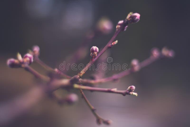 桃子芽 免版税库存图片