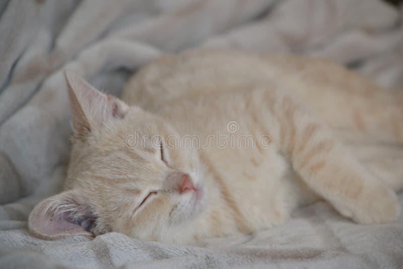桃子颜色一只幼小猫在床上说谎 免版税库存照片