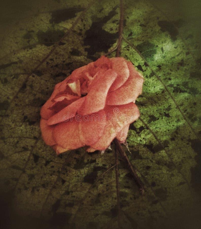 桃子颜色在一片被察觉的叶子上升了 免版税库存图片