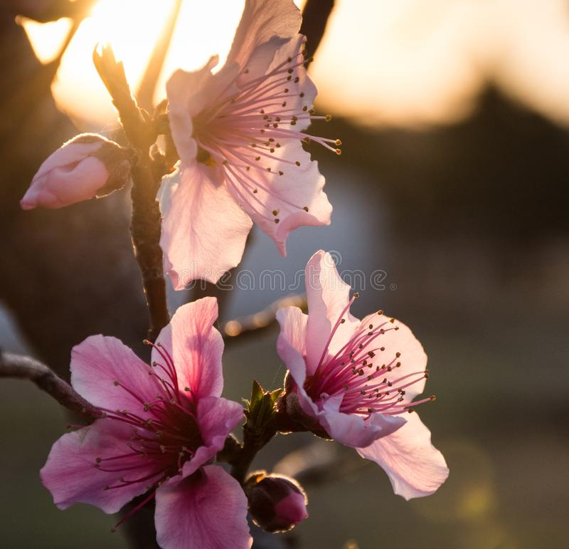 桃子Prunus佩尔西卡绽放在黎明 库存图片
