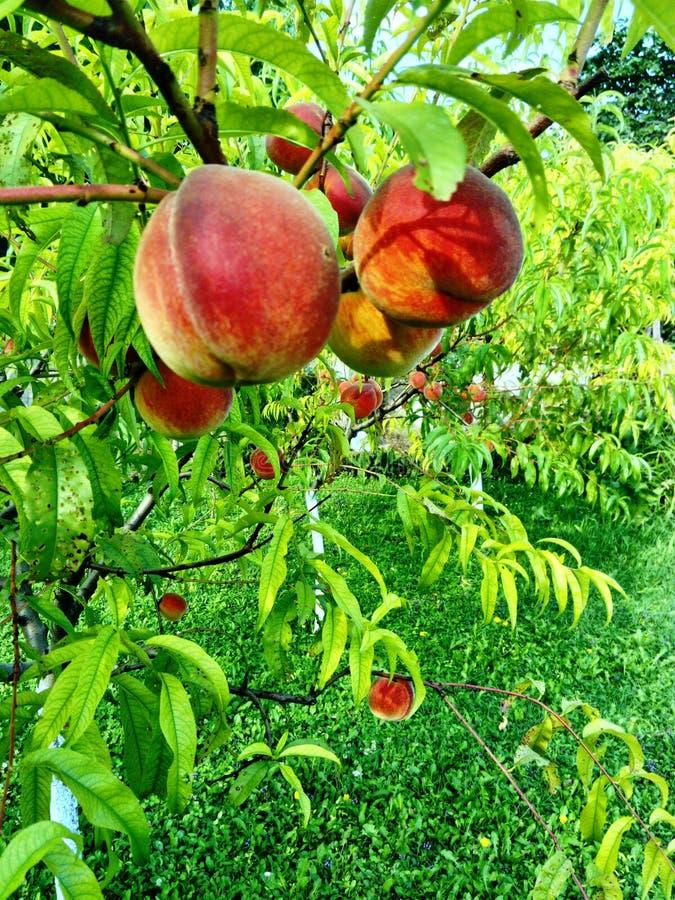 桃树果树园 免版税库存照片