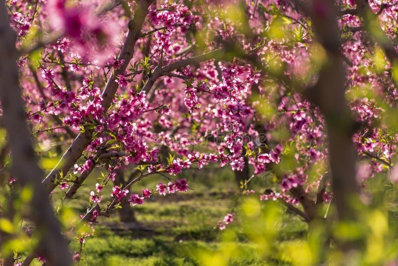 桃树行在绽放的,与在日出的桃红色花 Aitona alcarras,托雷斯德塞格雷 农业 免版税库存照片
