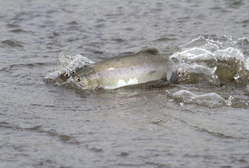 桃红色三文鱼漂浮沿河的浅嘴在期间 免版税库存图片