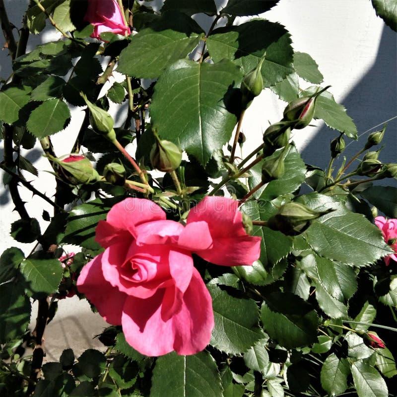 桃红色上升了与一种美丽的气味 免版税图库摄影