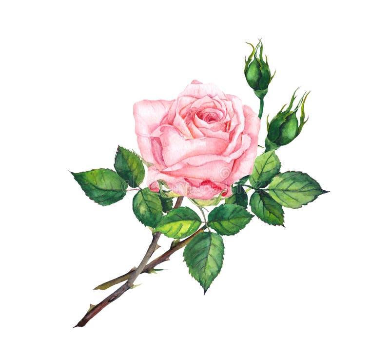 桃红色上升了与芽,叶子 水彩艺术 库存例证