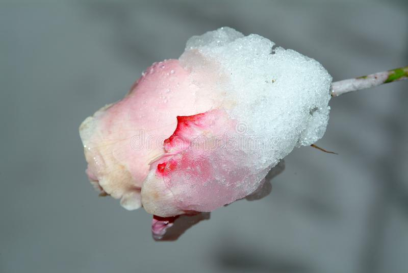 桃红色上升了在雪的芽 免版税库存照片