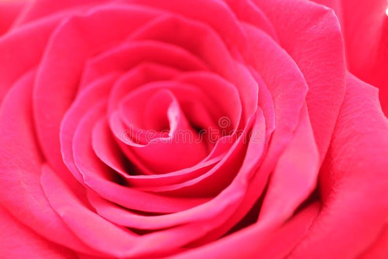 桃红色上升了特写镜头 图库摄影