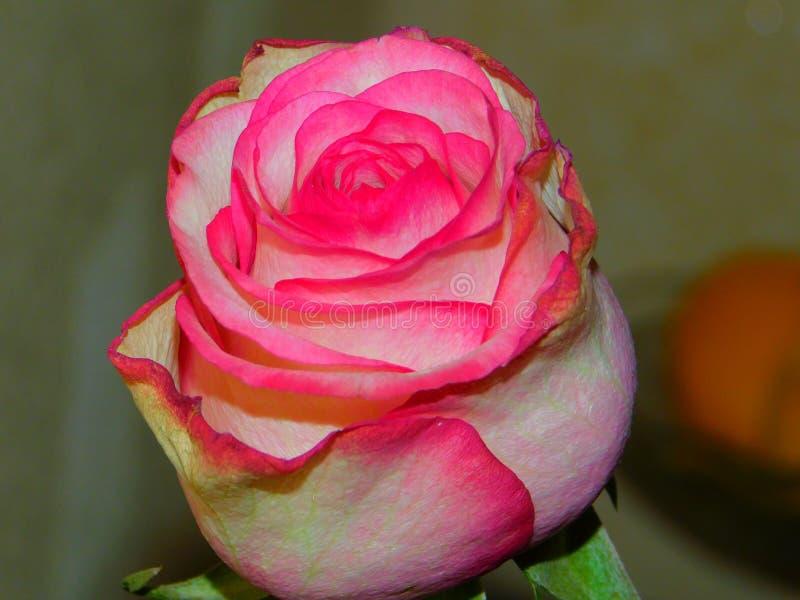 桃红色上升了 库存图片