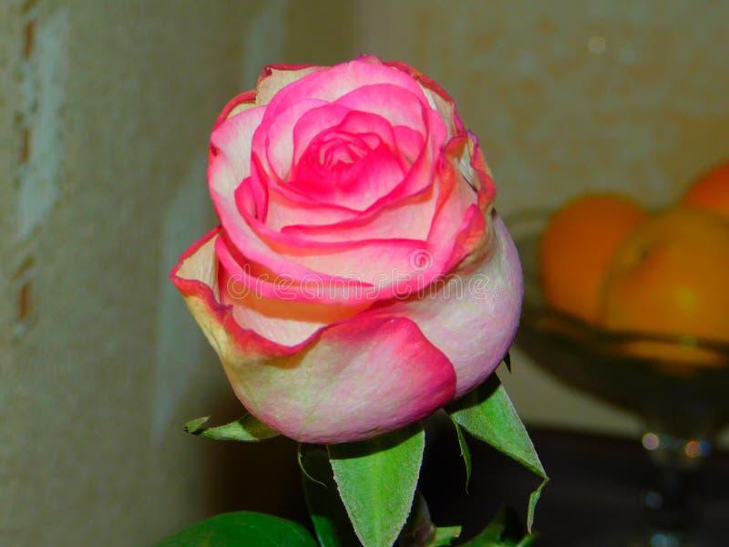桃红色上升了 库存照片