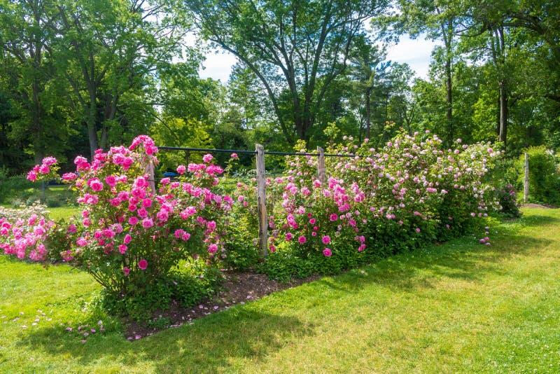 桃红色上升的玫瑰行  免版税库存照片