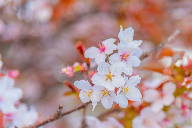 桃红色佐仓花樱花在日本 图库摄影