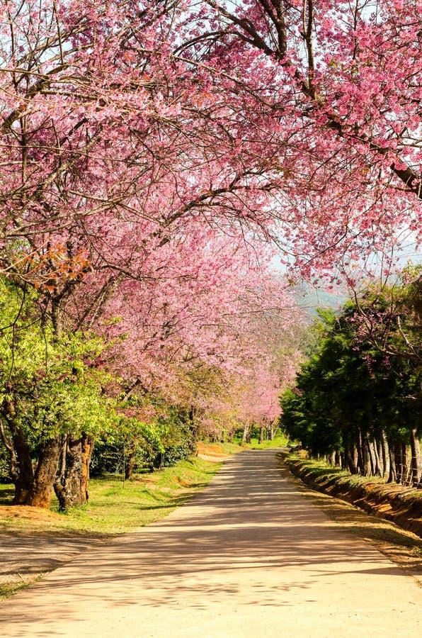 桃红色佐仓在清迈开花树,泰国公园  库存照片