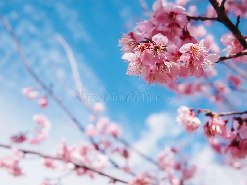 桃红色佐仓樱花在蓝天下 库存图片