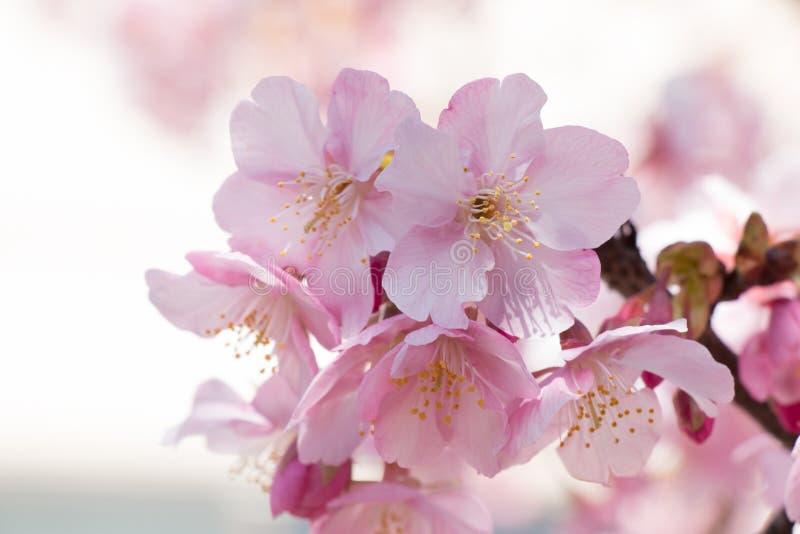 桃红色佐仓,樱花,是最美丽的花 免版税图库摄影