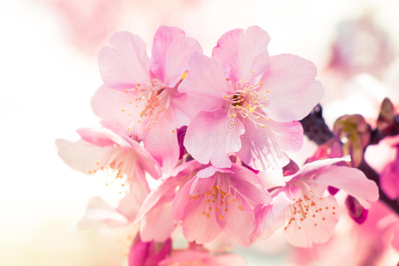 桃红色佐仓,樱花,是最美丽的花 库存图片