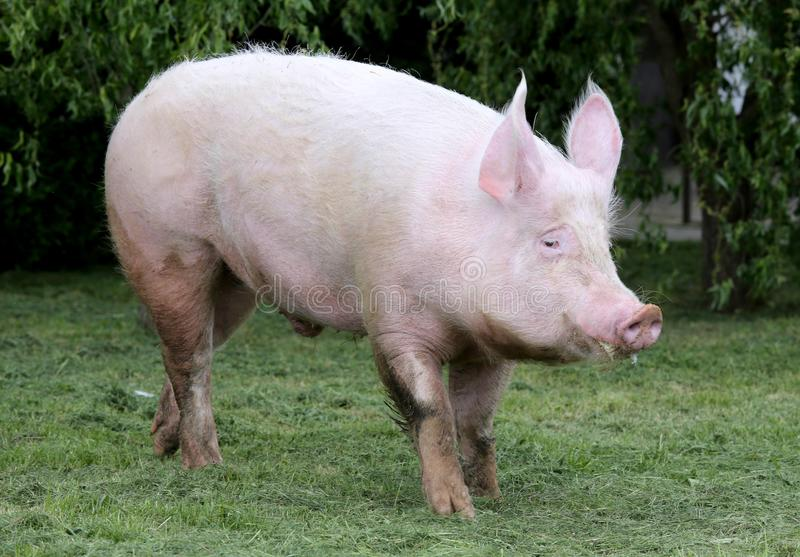 桃红色侧视图照片上色了在草甸的幼小母猪 免版税图库摄影图片