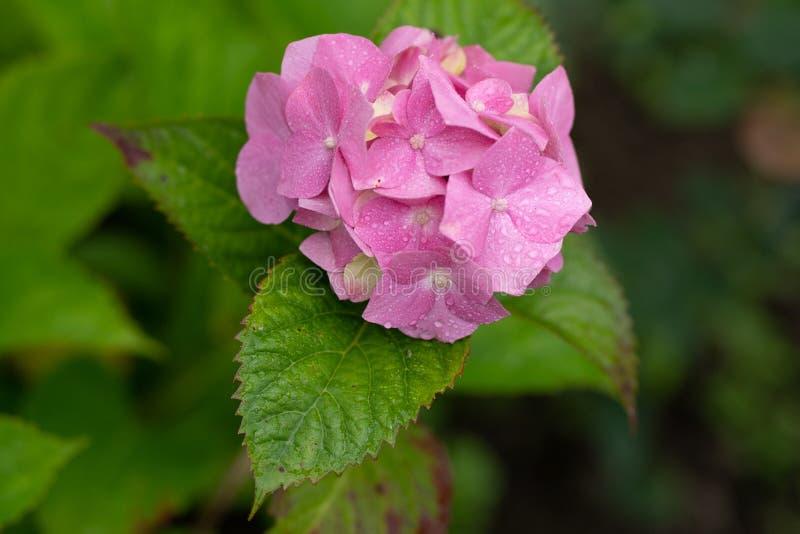 桃红色八仙花属在软的焦点和与紧密雨下落 库存图片