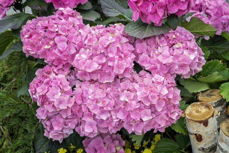 桃红色八仙花属开花,八仙花属macrophylla,霍滕西亚,普遍的园林植物,增长为他们的大flowerheads 免版税库存照片