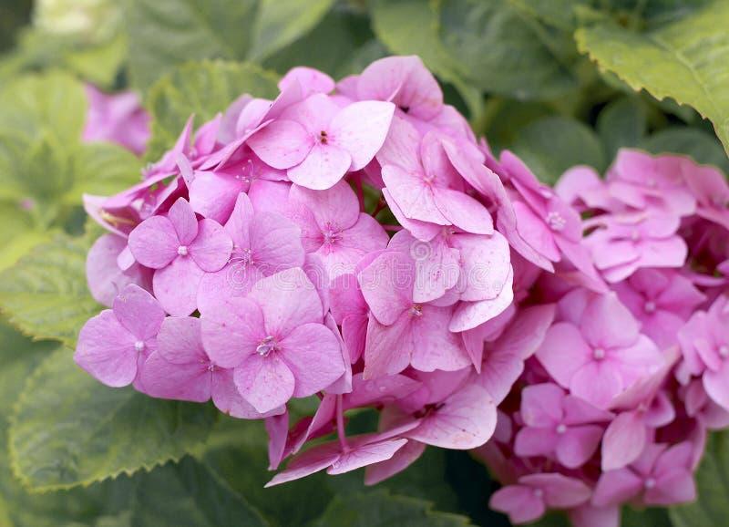 桃红色八仙花属灌木在庭院里 图库摄影