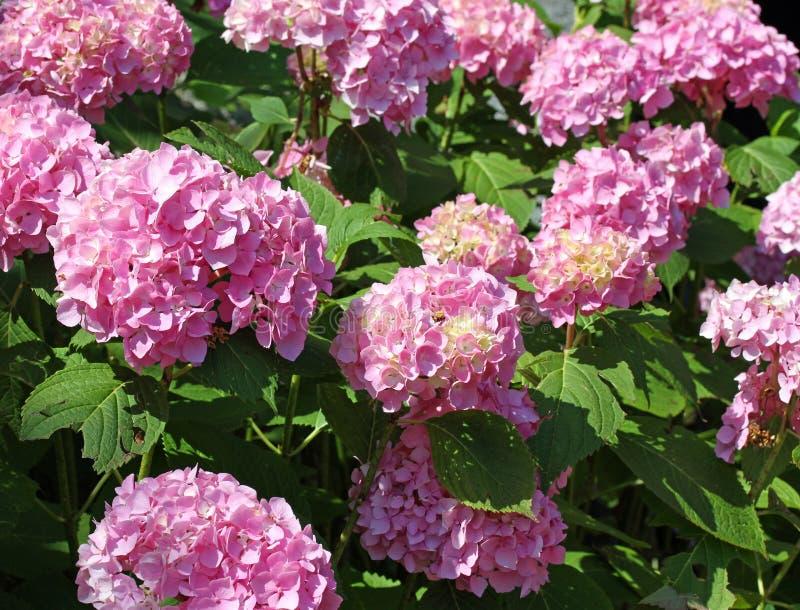 桃红色八仙花属在别墅的庭院里在夏天 免版税库存图片