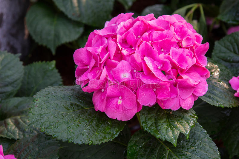 桃红色八仙花属花八仙花属macrophylla在庭院里 免版税库存图片