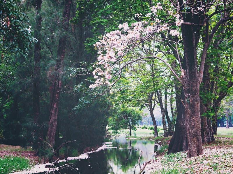 桃红色公园的喇叭花树附近的池塘 免版税图库摄影