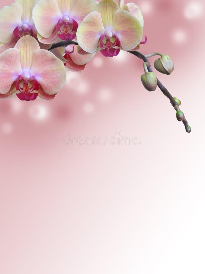 桃红色兰花分支有抽象bokeh背景 免版税库存照片