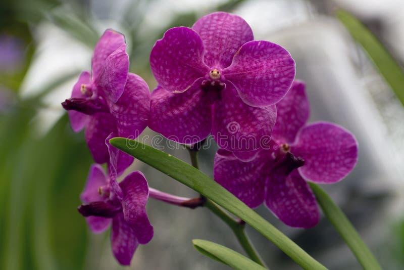 桃红色兰花植物,桃红色兰花关闭在软的焦点 库存照片