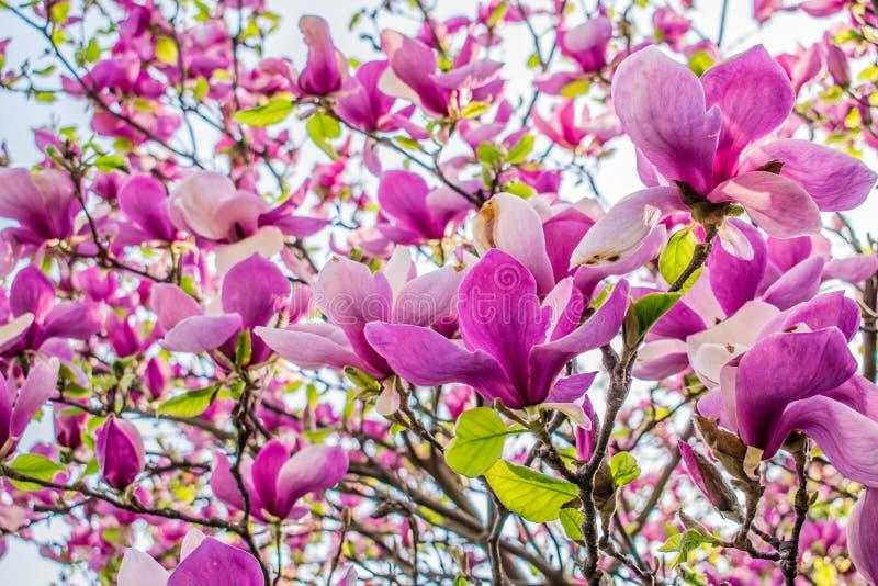 桃红色兰花的大芽在春天在树 免版税库存图片