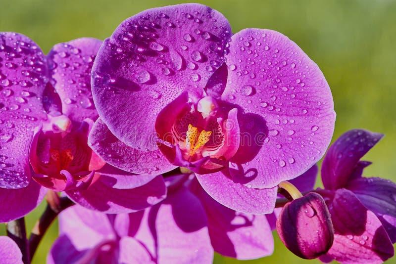 桃红色兰花花关闭用水在一个晴天下降 库存照片