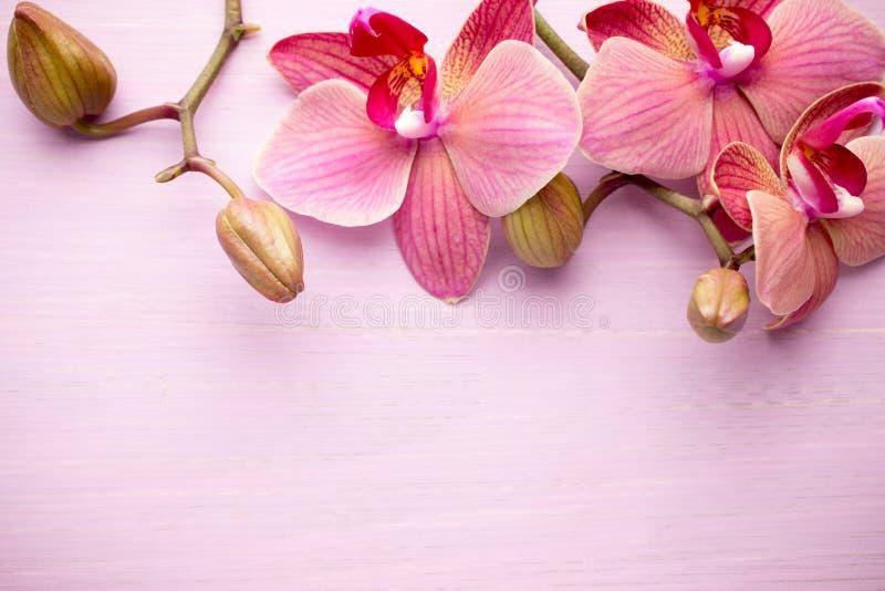 桃红色兰花花 库存图片
