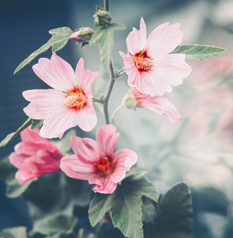 桃红色冬葵开花室外夏天自然 免版税图库摄影