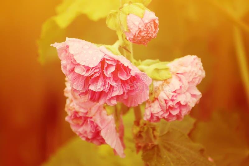 桃红色冬葵植物 库存图片