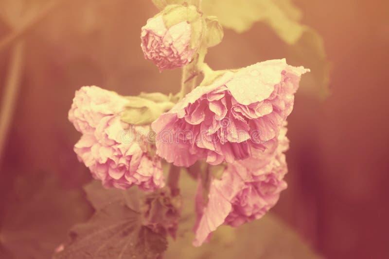 桃红色冬葵植物 免版税库存照片